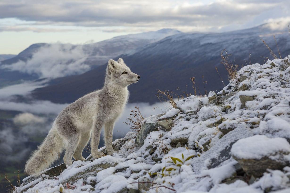 Naalin eli napaketun varhainen muoto eli neljän kilometrin korkeudessa. Kuva: Nature Picture Library/MVPhotos