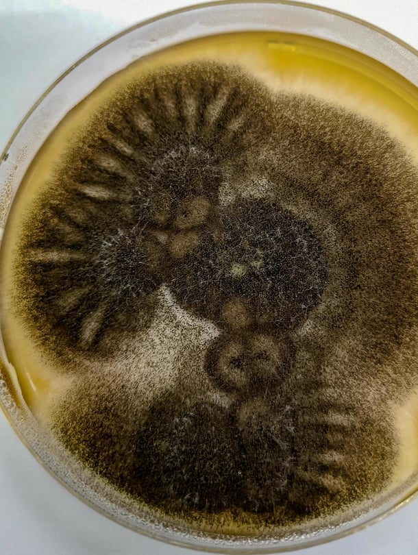 """Nuijahome eli Aspergillus niger on todellinen selviytyjä, sillä se voisi pärjätä Marsissakin. Kuva: <span class=""""photographer"""">Shutterstock</span>"""