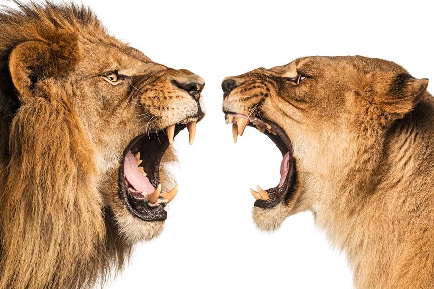 """Jos leijonat adoptoivat tutkijoita, jotain pitää keskustella. Kuva: <span class=""""photographer"""">Shutterstock</span>"""