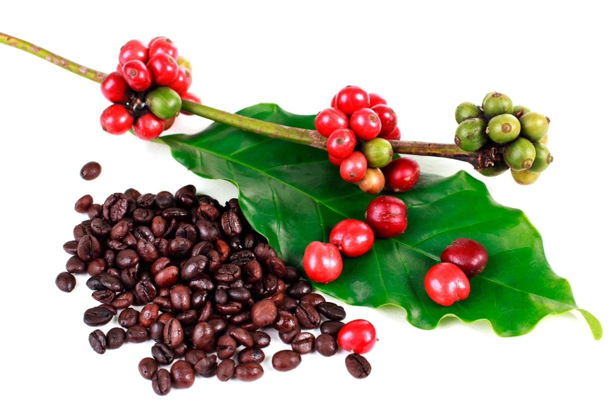 Kahvi sisältää satoja yhdisteitä. Tutkijoita kiinnostavat etenkin fenoit, joiden tiedetään suojaavan soluja. Kuva: Wikimedia Commons