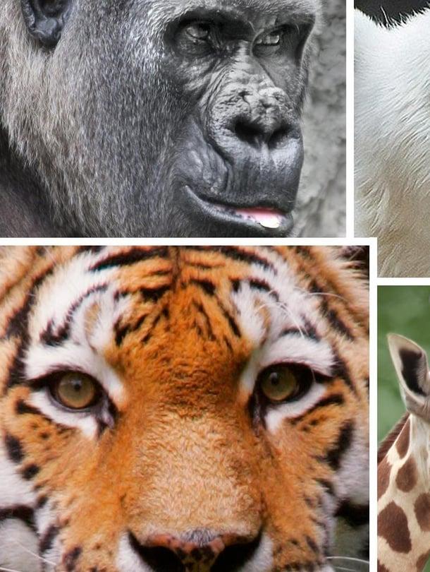 """Kyselyn mukaan suosituimmat eläimet ovat tiikeri, leijona ja norsu. Kuva: <span class=""""photographer"""">Kimmo Taskinen / HS</span>"""