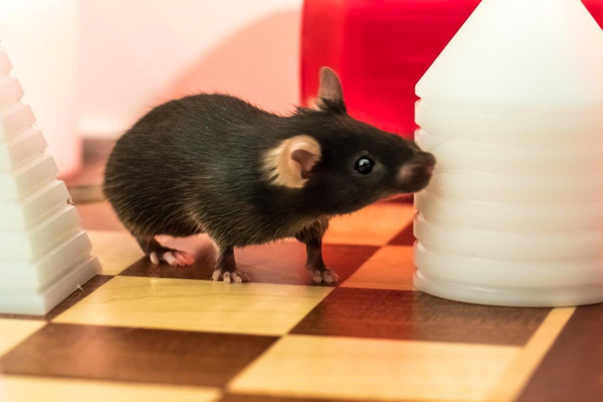 Liikunnan ja muistin yhteyttä tutkittiin luonnostaan uteliailla hiirillä. Kuva: Josef Bischofberger / Baselin yliopisto