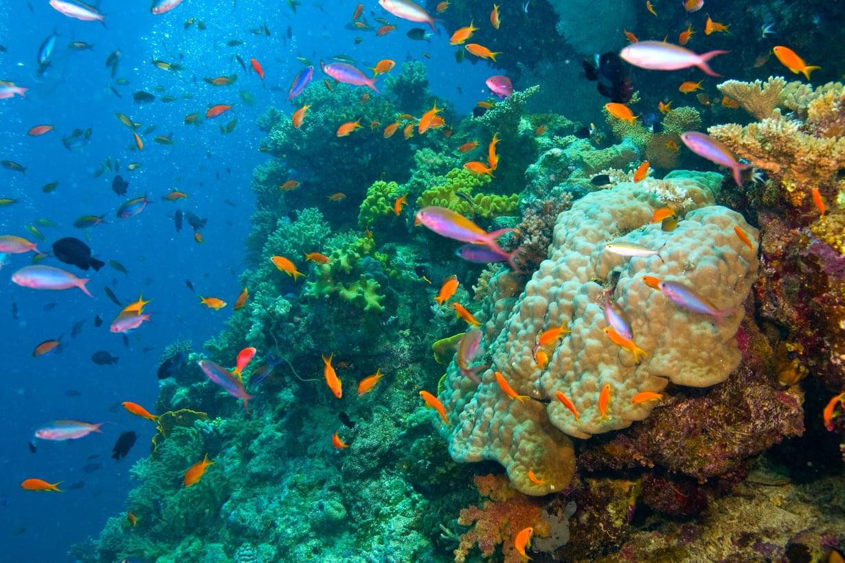 Kaloille koralliriutat tarjoavat rikkaita ruokailumaastoja ja suojaisia lepo- ja lisääntymispaikkoja. Kuva: Shutterstock