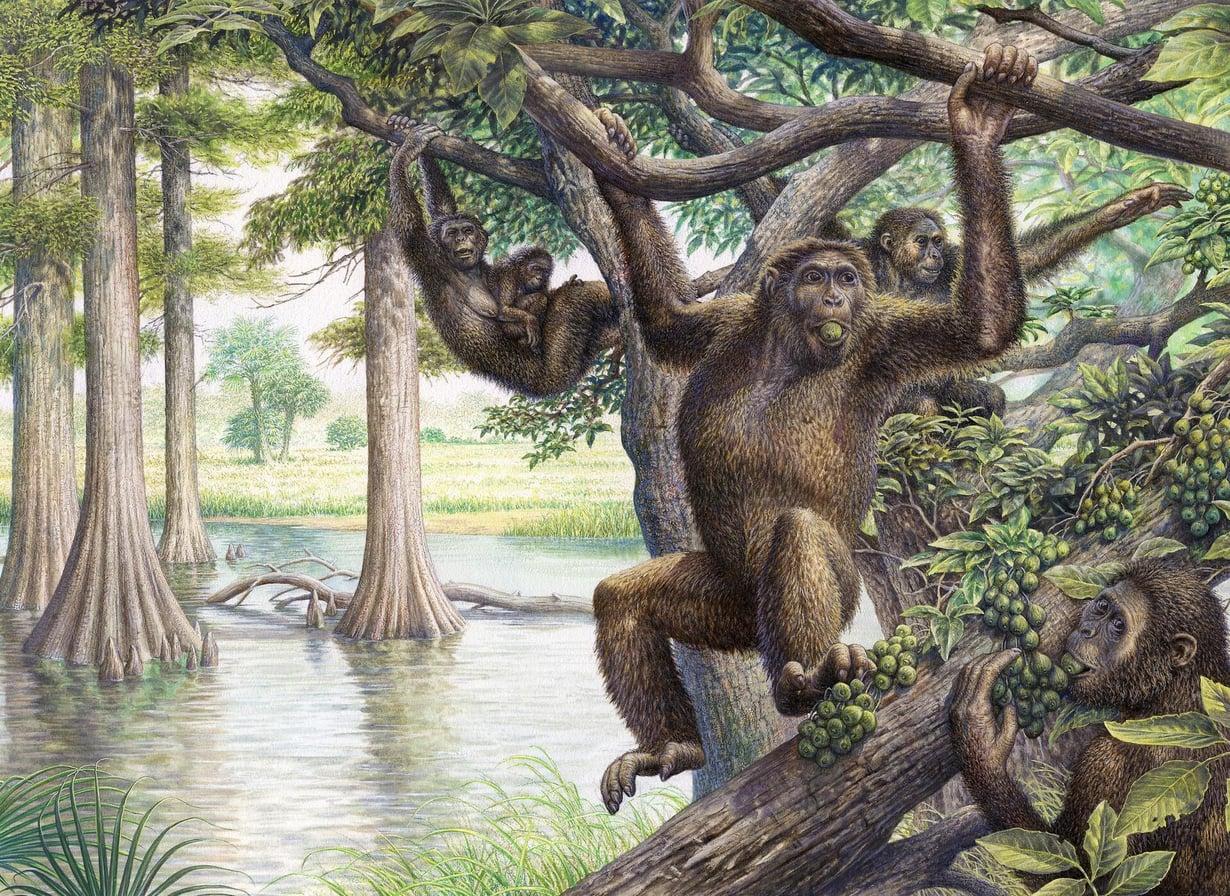 Taiteilijan näkemys kadonneesta dryopithecus-apinasta, joka eli mioseenikaudella. Ajanjakso oli noin 5–23 miljoonaa vuotta sitten. Kuva: John Sibbick / Science Photo Library