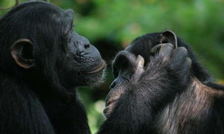 """Simpanssit ja bonobot käyttävät eleitä vaihtaakseen asentoja sukiessaan toisiaan. Kuva: <span class=""""photographer"""">Catherine Hobaiter</span>"""