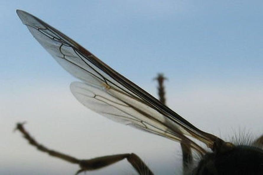 """Mehiläisen siipi. Kuva: <span class=""""photographer"""">Wikimedia Commons</span>"""