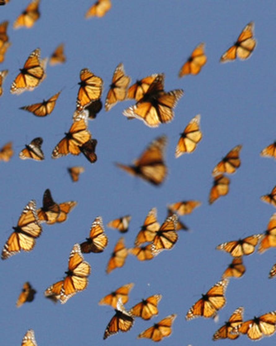 """Monarkkiperhosia muuttolennolla. Kuva: <span class=""""photographer"""">Monarch Watch/Chip Taylor</span>"""