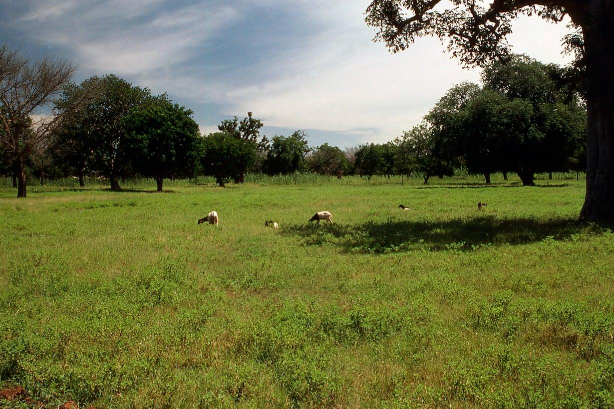Lisäpuiden ei tarvitse muodostaa meidän tuntemaamme metsää. Monitoimikäytössä samalle maalle mahtuu puita, karjaa ja ravintokasveja. Kuva: Getty Images