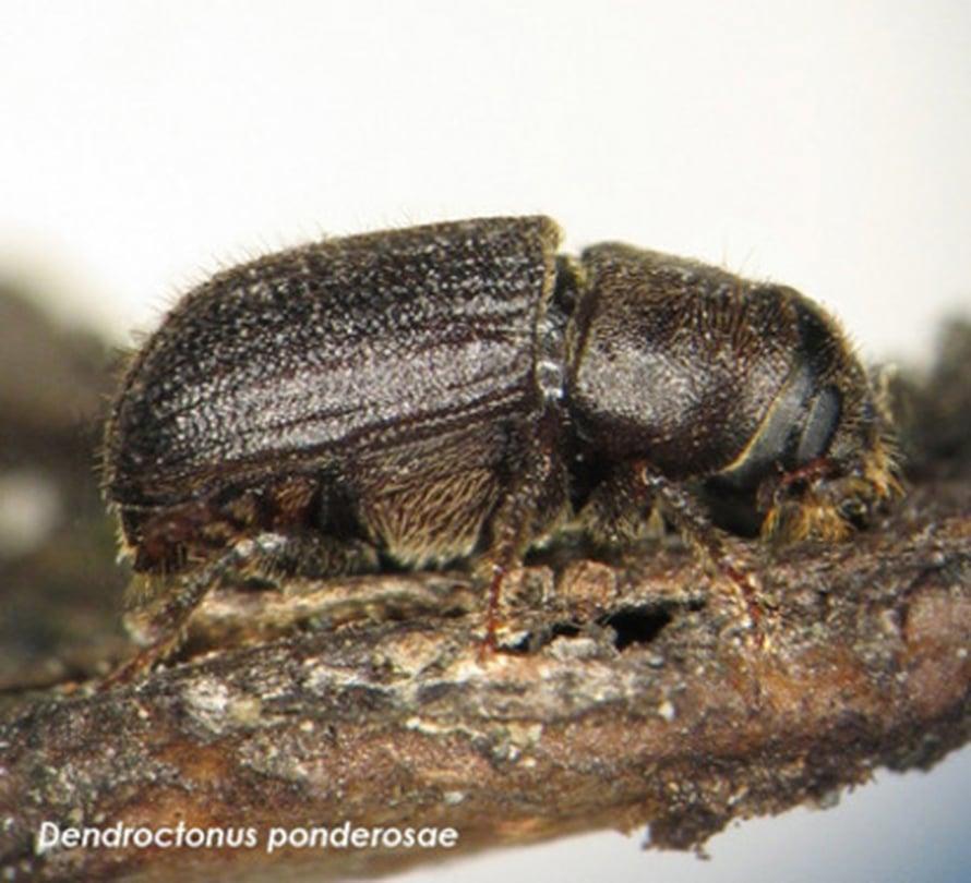 """Vuoriston mäntykuoriainen (<i>Dendroctonus ponderosae</i>) on vain riisinjyvän kokoinen. Kuva: <span class=""""photographer"""">Doug Linton, Natural Resources Canada</span>"""