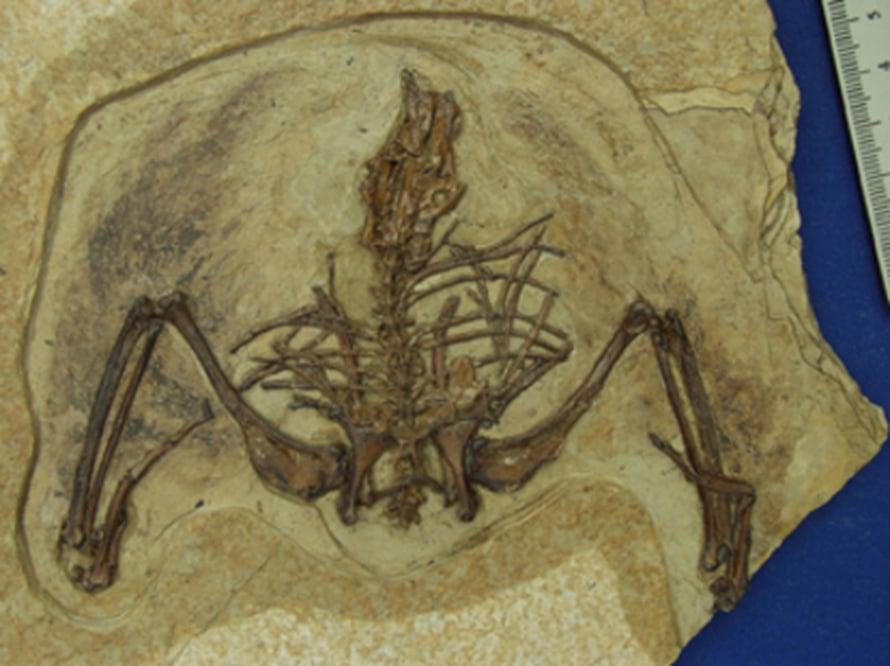 """Melkein täydellinen Gansus yumenensis -fossiili. Siivissä on jäljellä höyheniä. Kuva: <span class=""""photographer"""">Hai-lu You/CAGS</span>"""