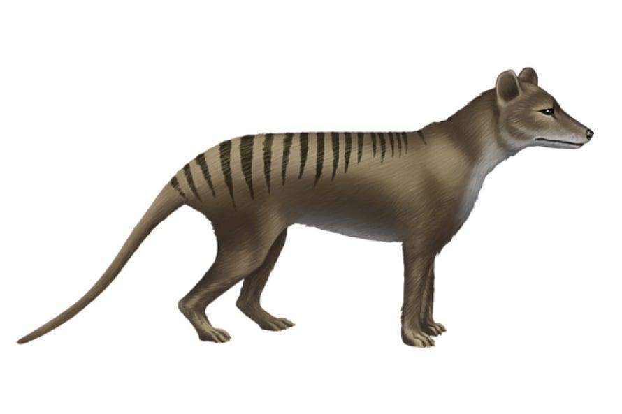 Pussihukka, Thylacinus cynocephalus.