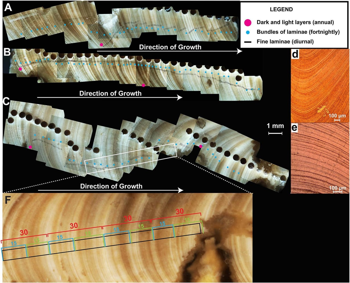 Simpukan läpileikkaus ja sen kerrokset näyttävät tutkijalle, kuinka simpukka eli ja kasvoi vuodenaikojen mukaan 70 miljoonaa vuotta sitten. Nuoli näyttää kasvun suunnan. Punaiset pisteet näyttävät kasvun yhden vuoden aikana. Siniset pisteet kuvaavat kahden viikon jaksoja. Kuva: AGU