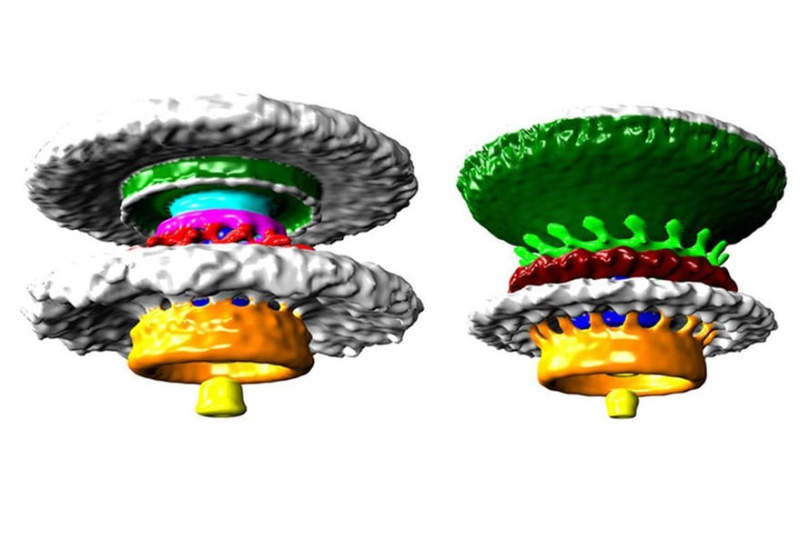 """Bakteerimoottoreita on moneen lähtöön. Moottori tuottaa voiman bakteerin siimaan, joka pyörii kuin potkuri. Joskus bakteeri voi puskea sen avulla eri kalvojen läpi. Kuva: <span class=""""photographer"""">Morgan Beeby/Imperial College London</span>"""