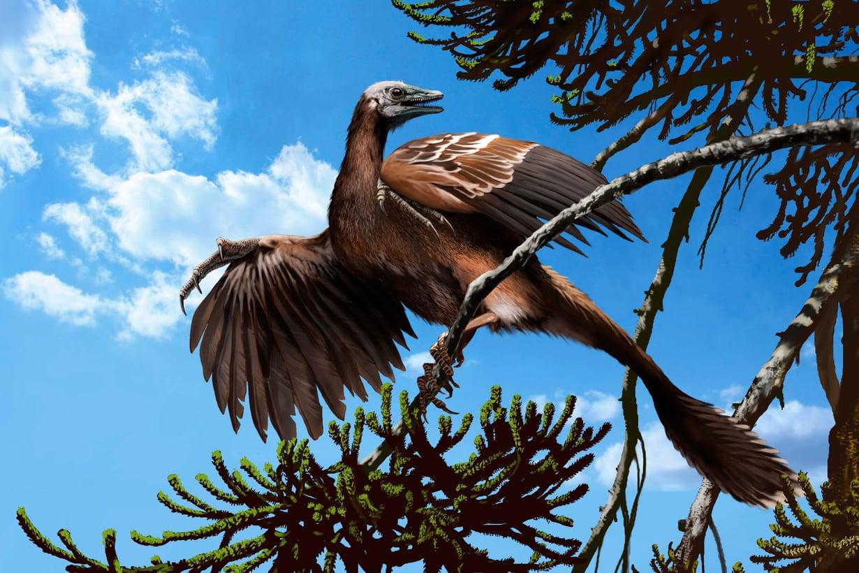 Ensimmäisten joukossa siivilleen nousi Archaeopteryx. Sillä oli vielä pitkä matelijanhäntä. Kuva: SPL/MVPhotos