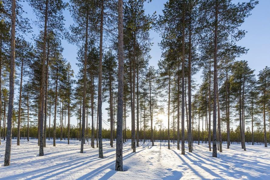 لماذا يذوب الثلج لأول الأشجار؟ tiedevastaa_puut_leh