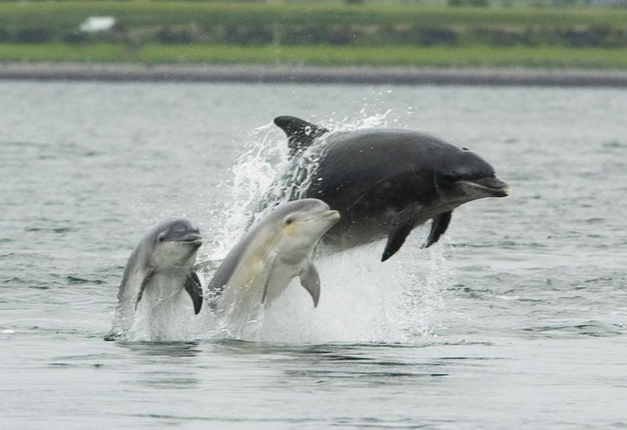 Pullonokkadelfiini kaipaa muiden äitien tukea.