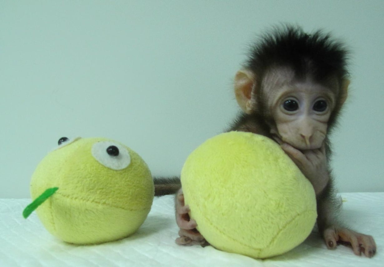 Hua Hua on toinen kloonatuista apinoista. Kuva: Qiang Sun and Mu-ming Poo / Chinese Academy of Sciences