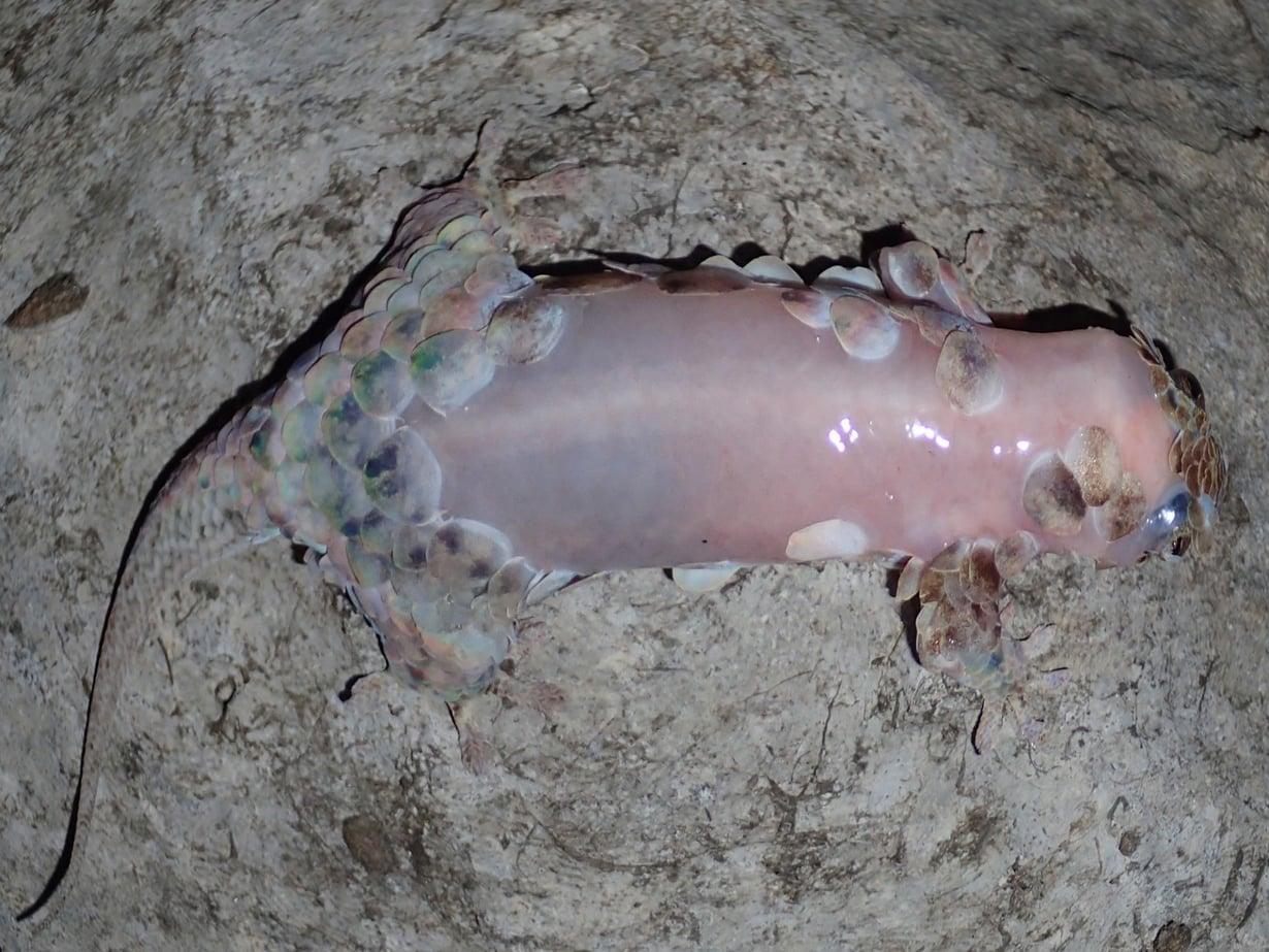 Suomujen lisäksi lisko luo ihonsa paetessaan. Kuva: F. Glaw
