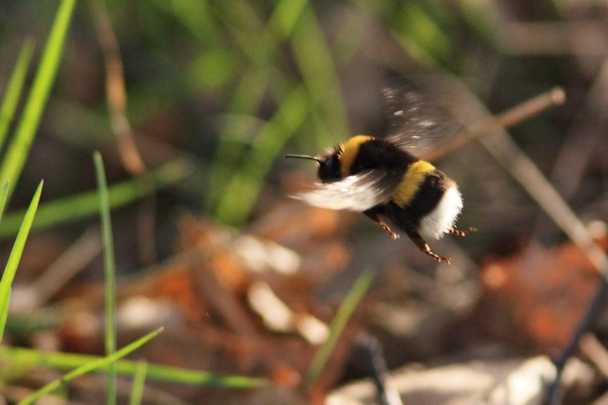 Pullea mantukimalaiskuningatar lentää pitkiä matkoja pienillä siivillään. Kuva: Seppo Parkkinen