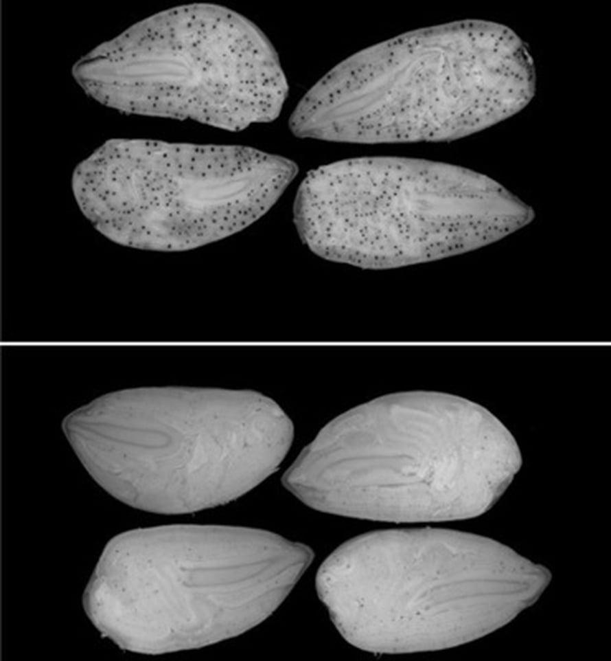 """Yllä tavallisia ja alla myrkyttömiksi muokattuja puuvillansiemeniä. Kuva: <span class=""""photographer"""">National Academy of Sciences.</span>"""