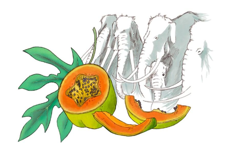 Kuka ylti puunlatvaan poimimaan papaijan.  Luultavasti pitkähampainen kolumbianmammutti kärsällään.