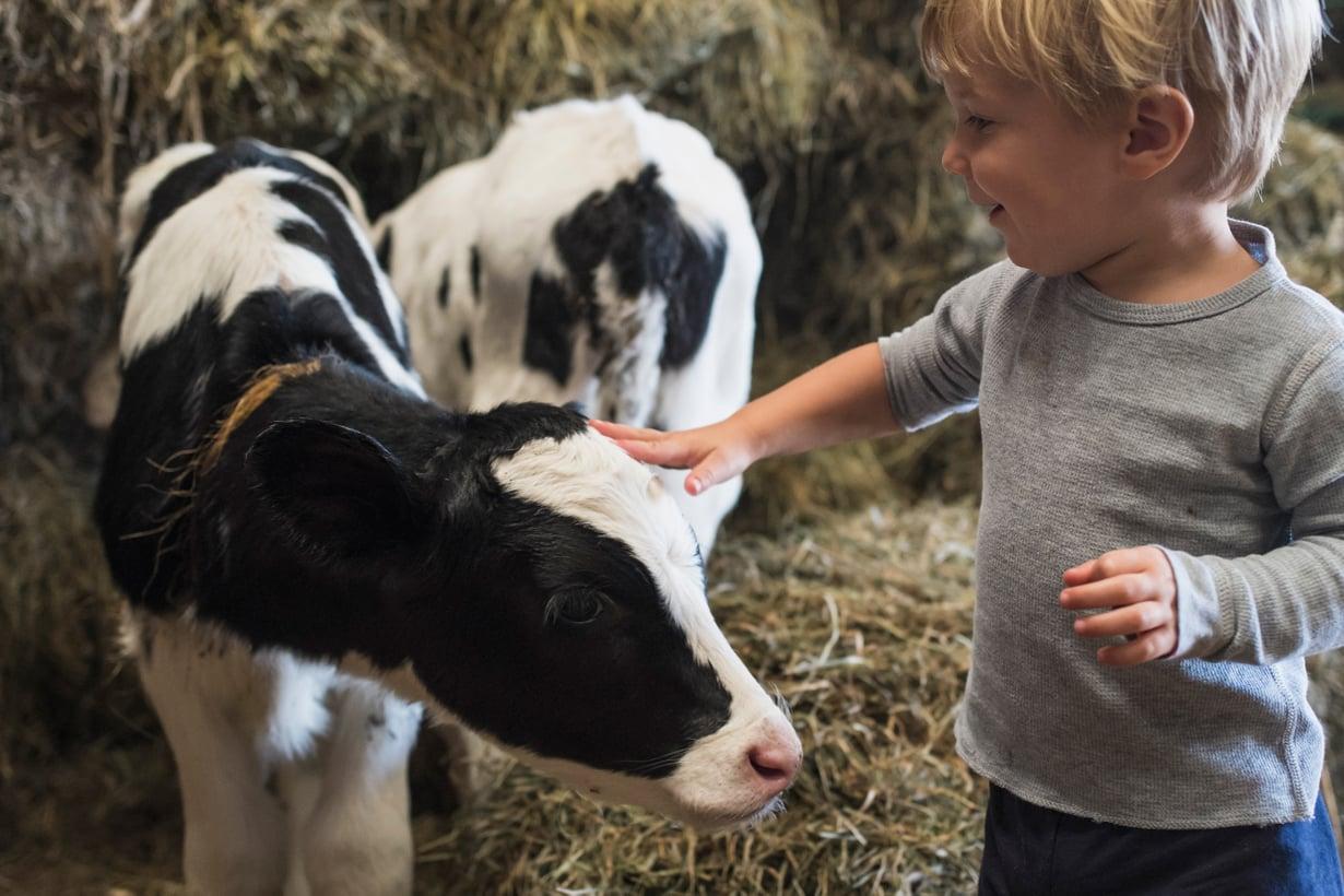 Vähiten allergioita potevat maatilojen lapset. Erityisen paljon tervehdyttäviä mikrobeja kuhisee karjasuojissa. Kuva: Getty Images