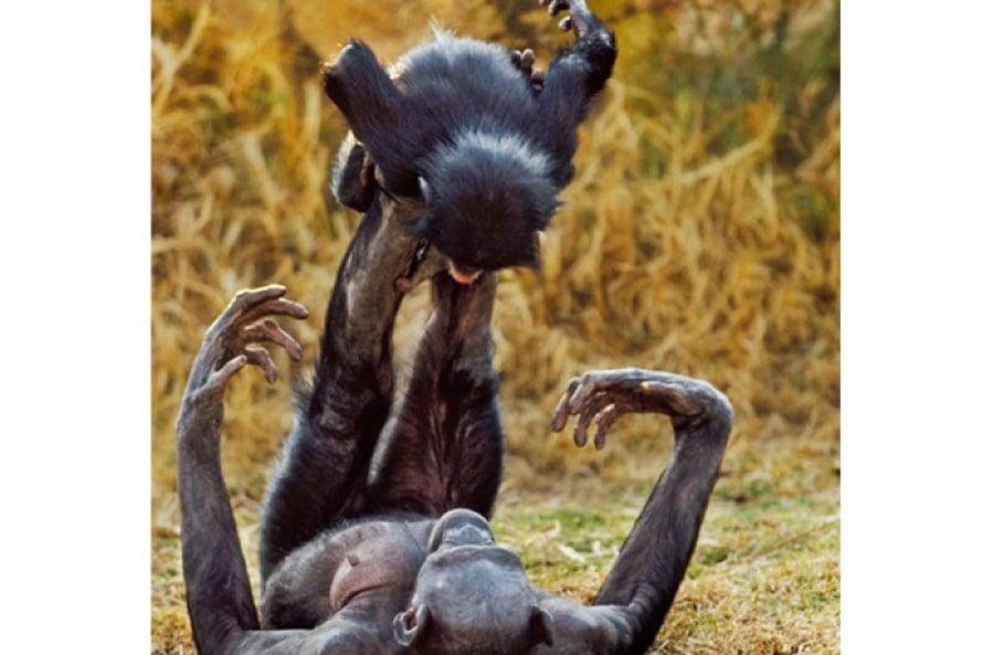 Emo lennättää. Bonobo eli kongonsimpanssi on simpanssin ohella ihmisen lähin sukulainen, joten ei ole ihme, jos leikeissäkin on samaa. Tässä yhdistyy kaksi leikin lajia: sosiaalinen ja liikunnallinen. Kuva Getty Images