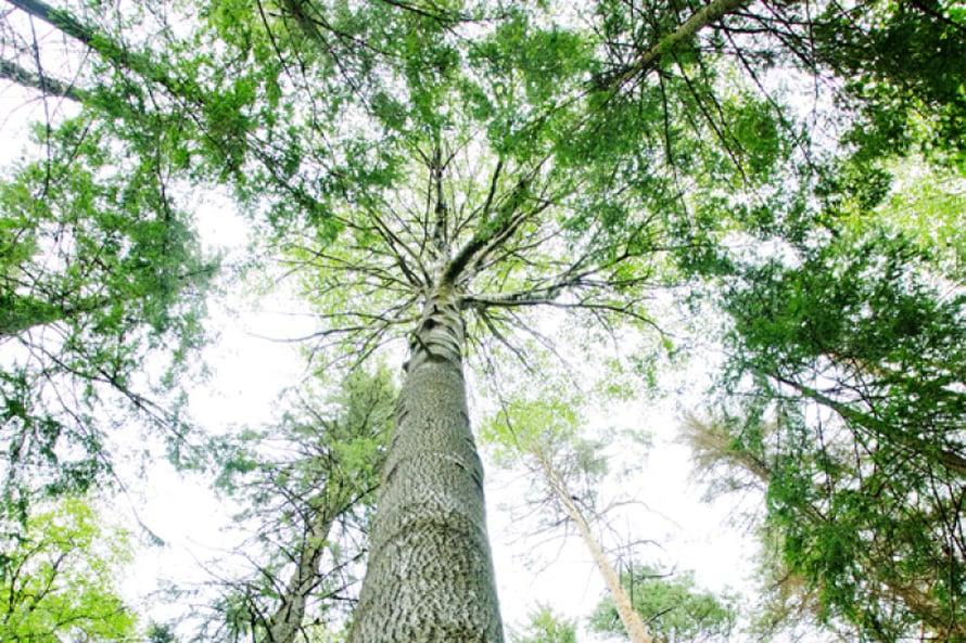 Vanhan haavan rungolla elää hyönteisiä, jäkäliä ja sammalia, jotka eivät  menesty muissa puissa.