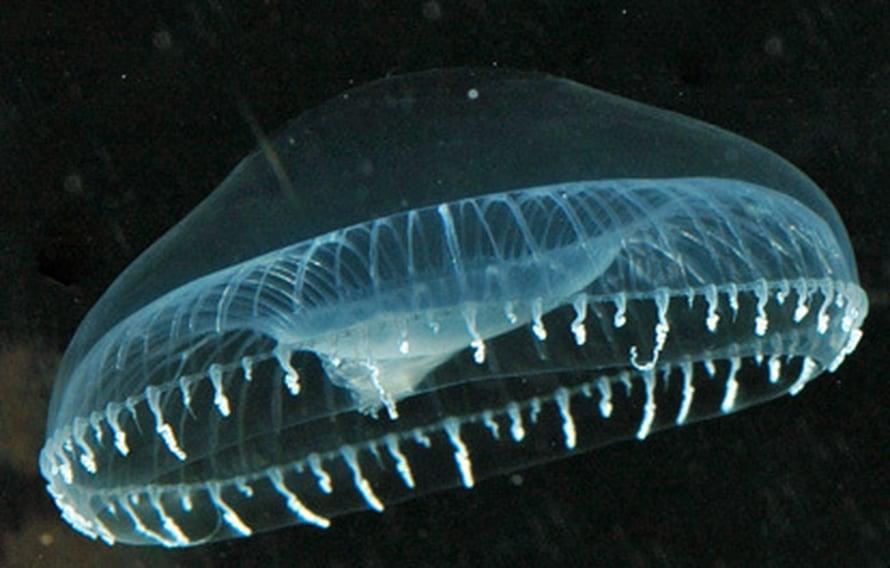 """Aequorea victoria -meduusa hohtaa häirittynä vihreänä. Kuva: <span class=""""photographer""""><A HREF=http://en.wikipedia.org/wiki/Image:Aequorea4.jpg>Wikimedia Commons</A>.</span>"""