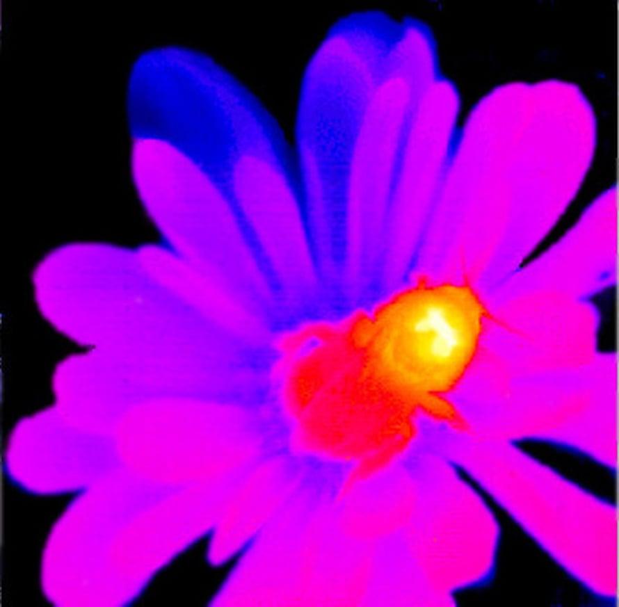 """Kontukimalainen infrapunakameran kuvassa.  Kuva: <span class=""""photographer"""">Beegroup Würtzburg</span>"""