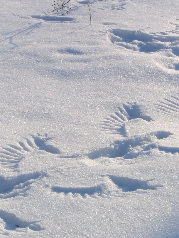 Mikä teki jälkiä takapihan lumeen? Kuva Getty Images