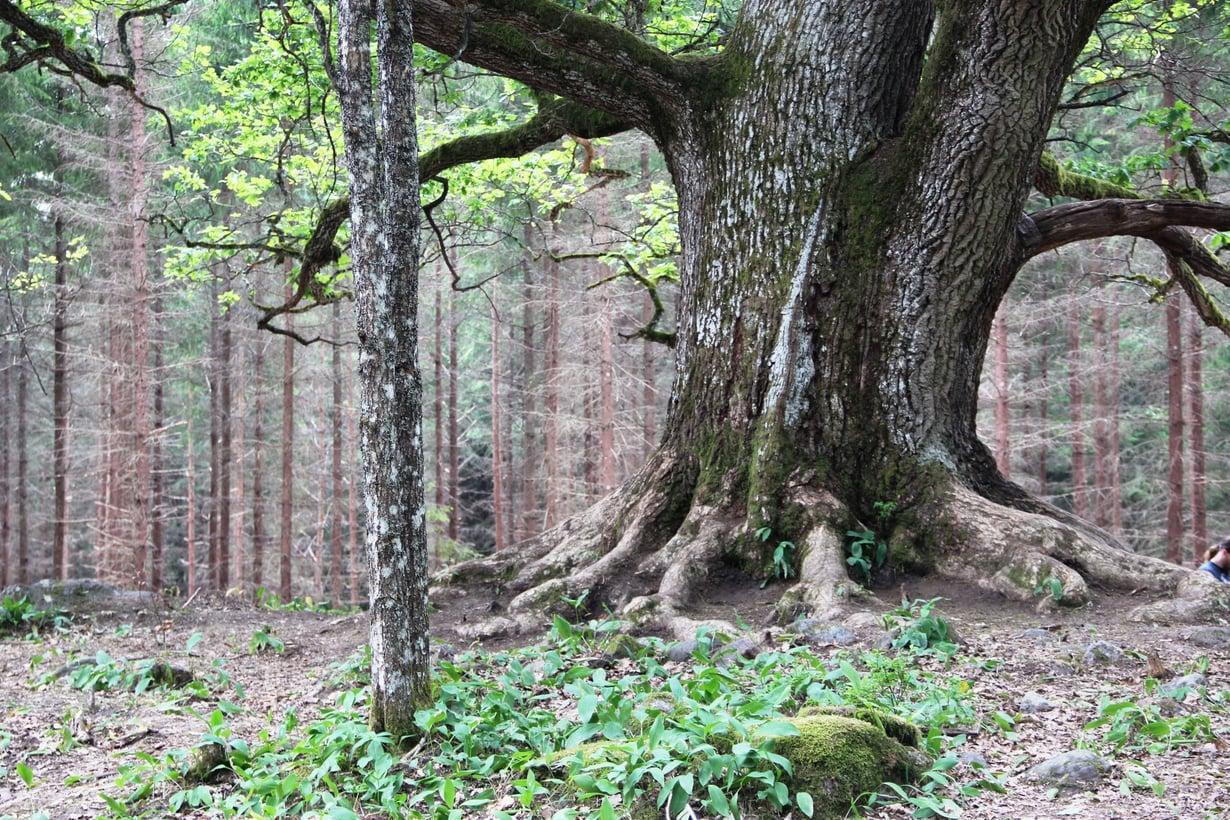 Tammi on Suomen kovimpia puulajeja. Kuvassa Paavolan tammi Lohjansaaressa. Kuva: Wikimedia Commons