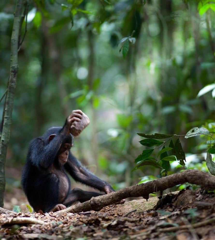 Tämän norsunluurannikkolaissimpanssin lempparipähkinänsärkijä on kivinen.