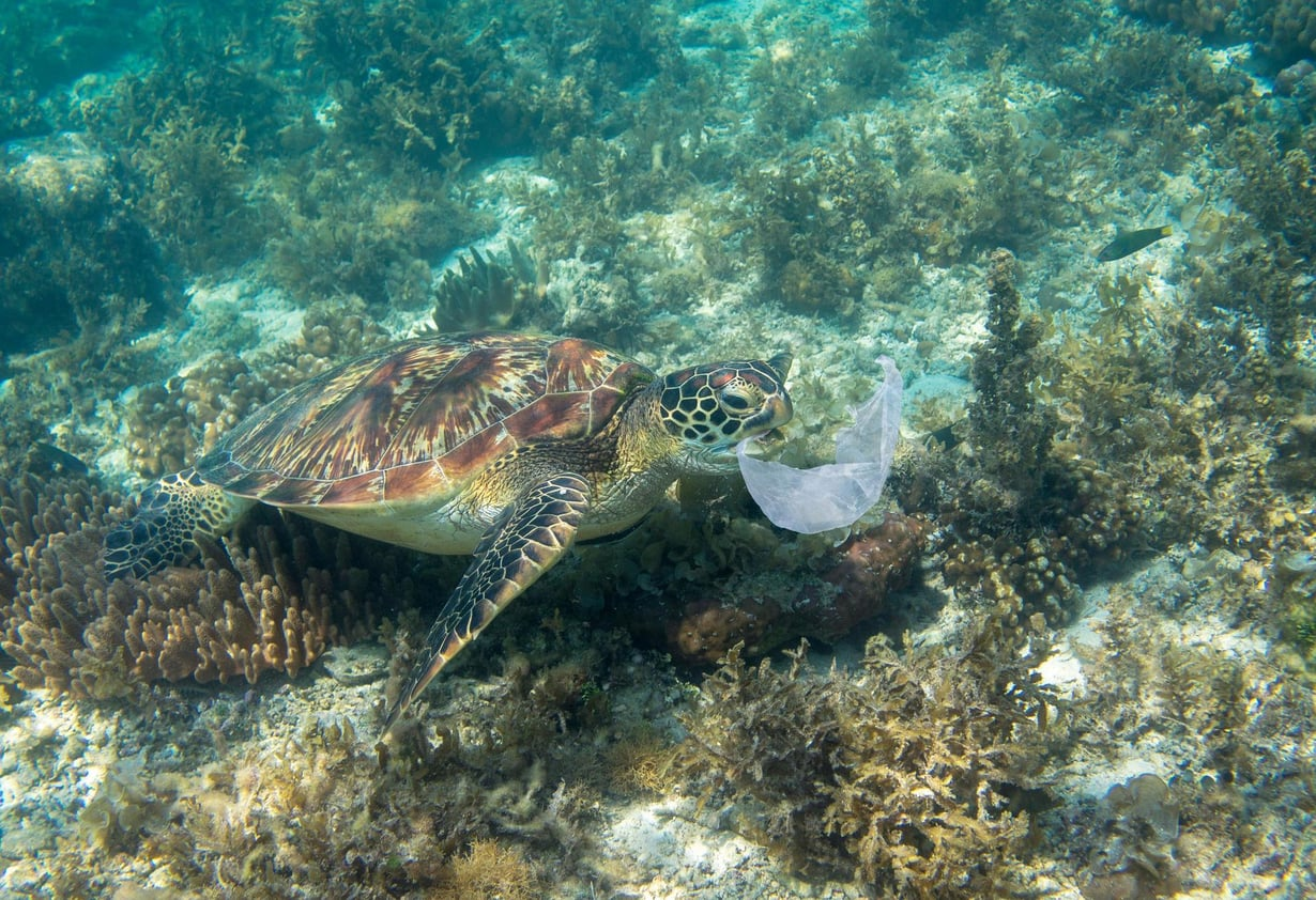 Merikilpikonnista löytyy sekä mikromuovia että suurempaa muoviroskaa.
