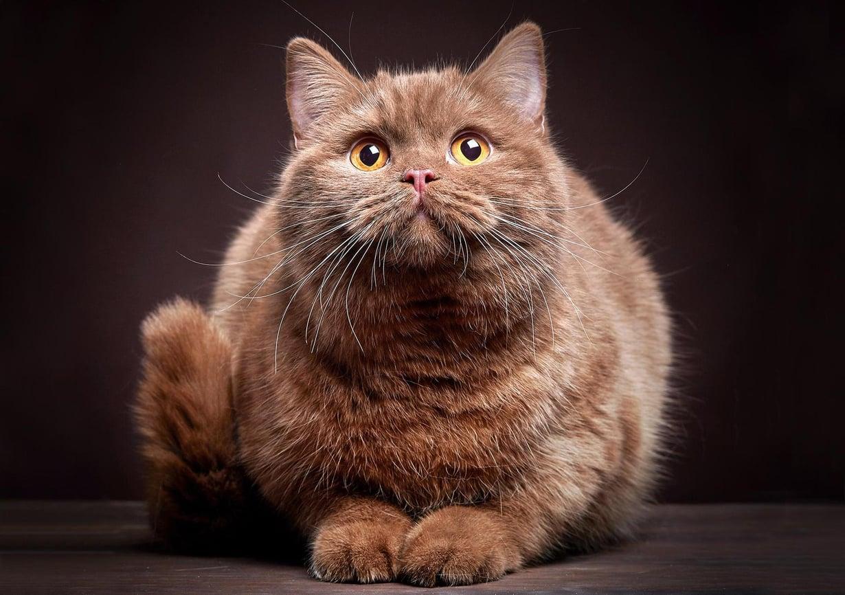 Toksoplasmaloinen leviää suvullisesti vain kissoissa, ja se on vaarallinen myös kissalle itselleen. Kuva: Mara Zemgaliete