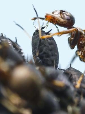 """Muurahainen hamuaa kirvan mesikastetta. Kuva: <span class=""""photographer"""">Vastavalo</span>"""