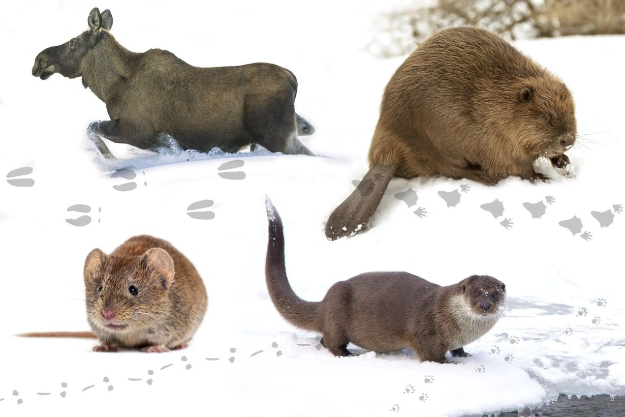 Ihminen näkee usein lumijälkiä, harvoin niiden jättäjiä. Kuvat Getty Images, piirrokset Petri Rotsten