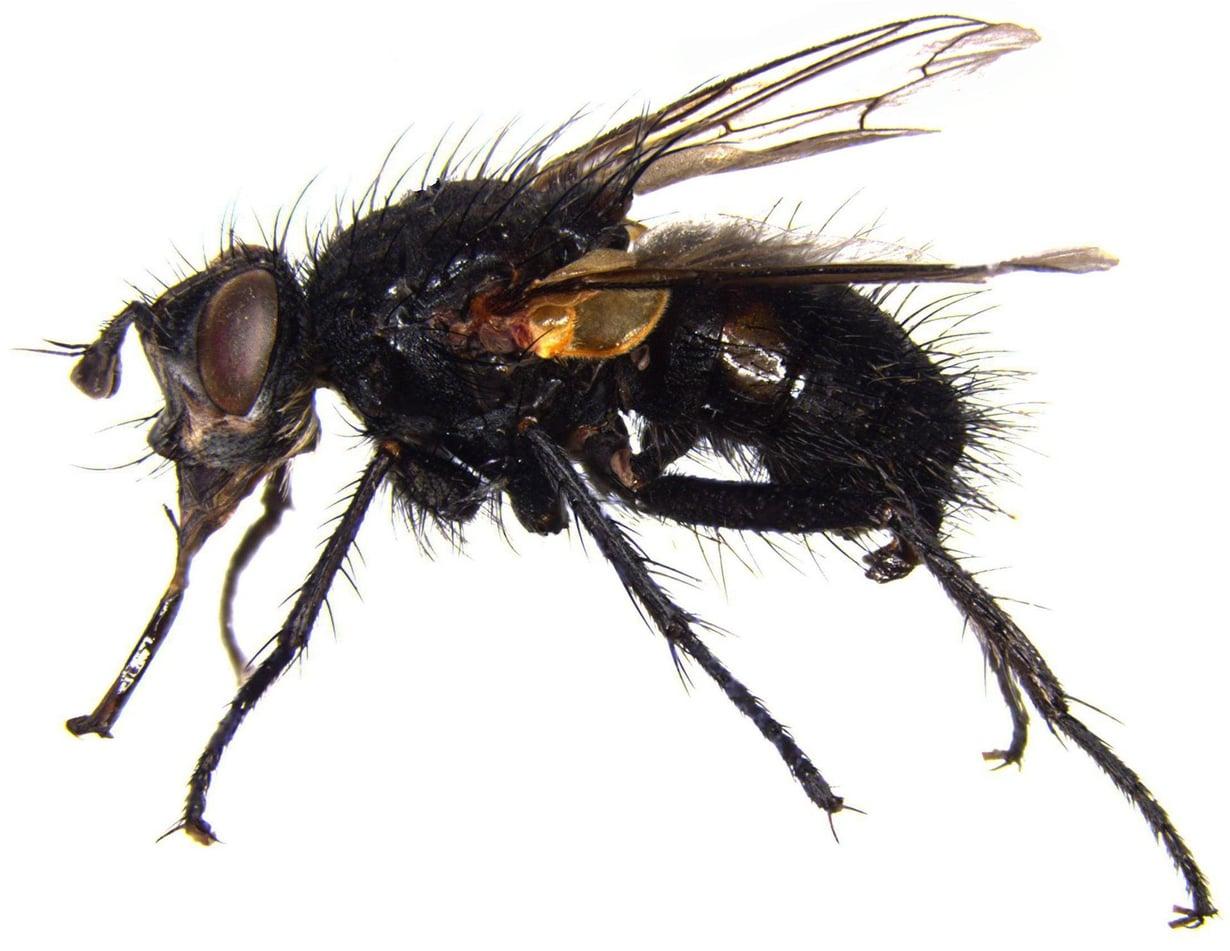 Loiskärpänen Linnaemya bergstroem näyttää vain kärpäseltä, mutta on tieteelle uusi laji. Kuva: Jaakko Pohjoismäki