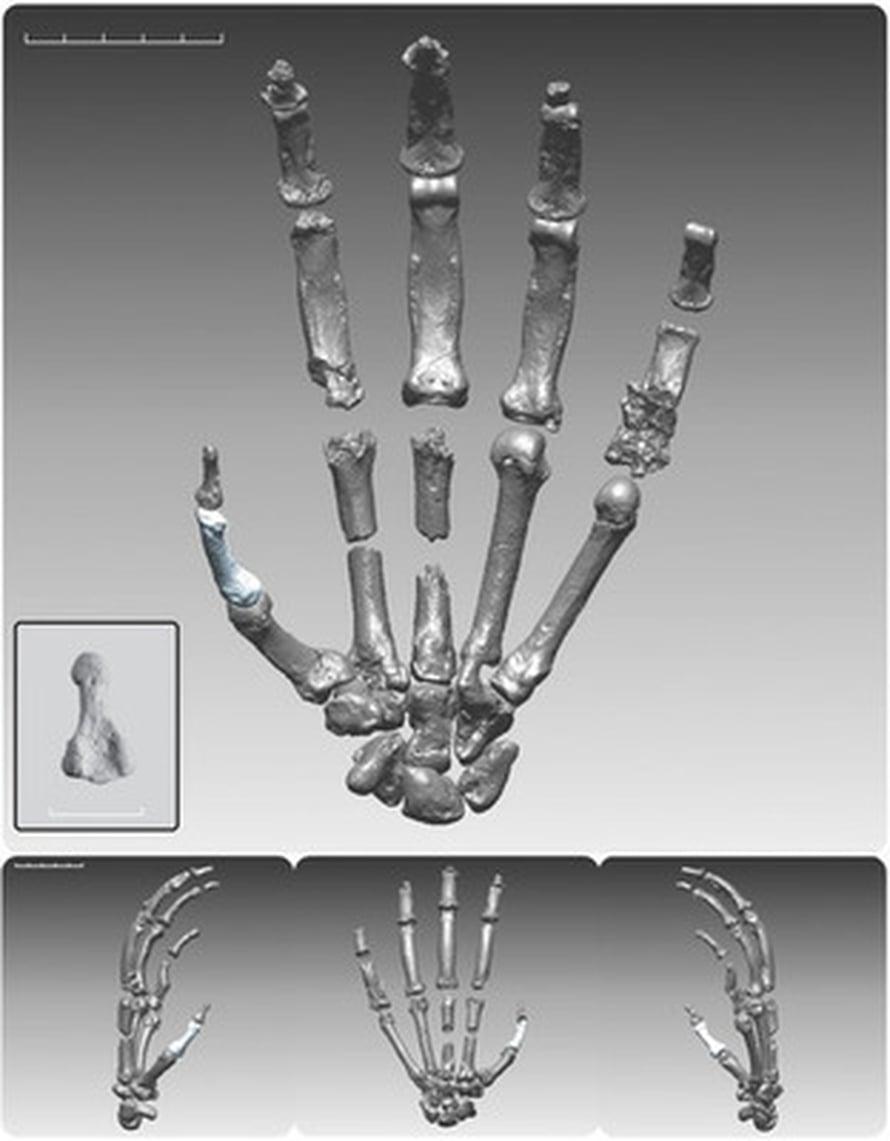 """Ardin käsi. Kuva: <span class=""""photographer"""">Science/AAAS</span>"""
