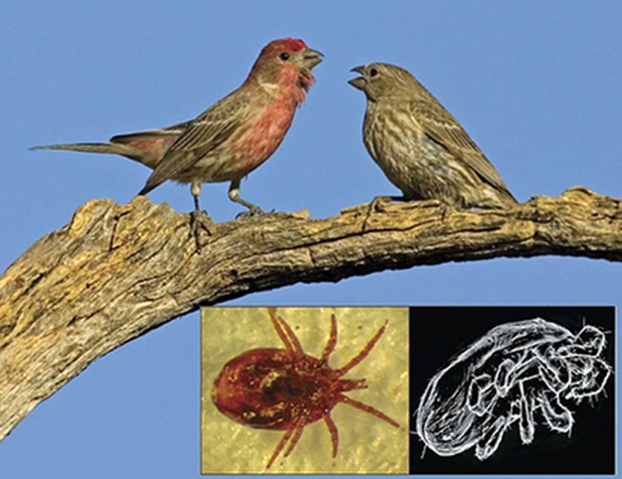 """Pihapunavarpuskoiras vasemmalla, naaras oikealla. Alla <i>Pellonyssus reedi</i> -loinen. Kuva: <span class=""""photographer"""">Alex Badyaev</span>"""