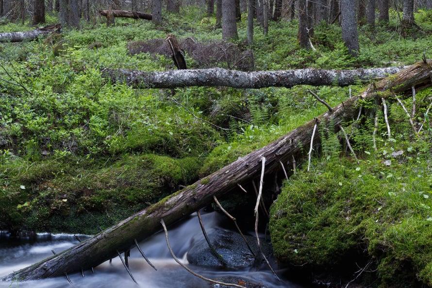 """Metsään ei voi sitoa rajattomasti hiiltä. Kuva: <span class=""""photographer"""">Vastavalo</span>"""