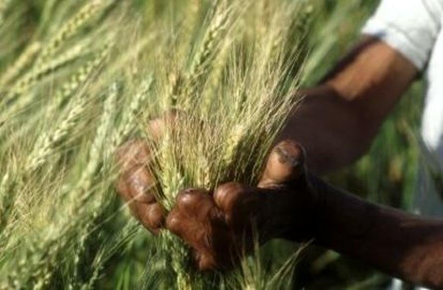 """Leipävehnä (Triticum aestivum) on maapallon tärkein leipävilja. Kuva: <span class=""""photographer"""">FAO.</span>"""