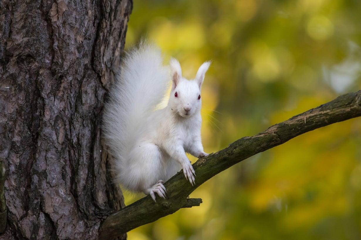 Albiino orava tarkkailee ympäristöään. Myöhemmin samanaaras kisaili ruskean lajitoverin kanssa ja rakensi ahkerasti uutta pesää. Kuva: Esko Inberg