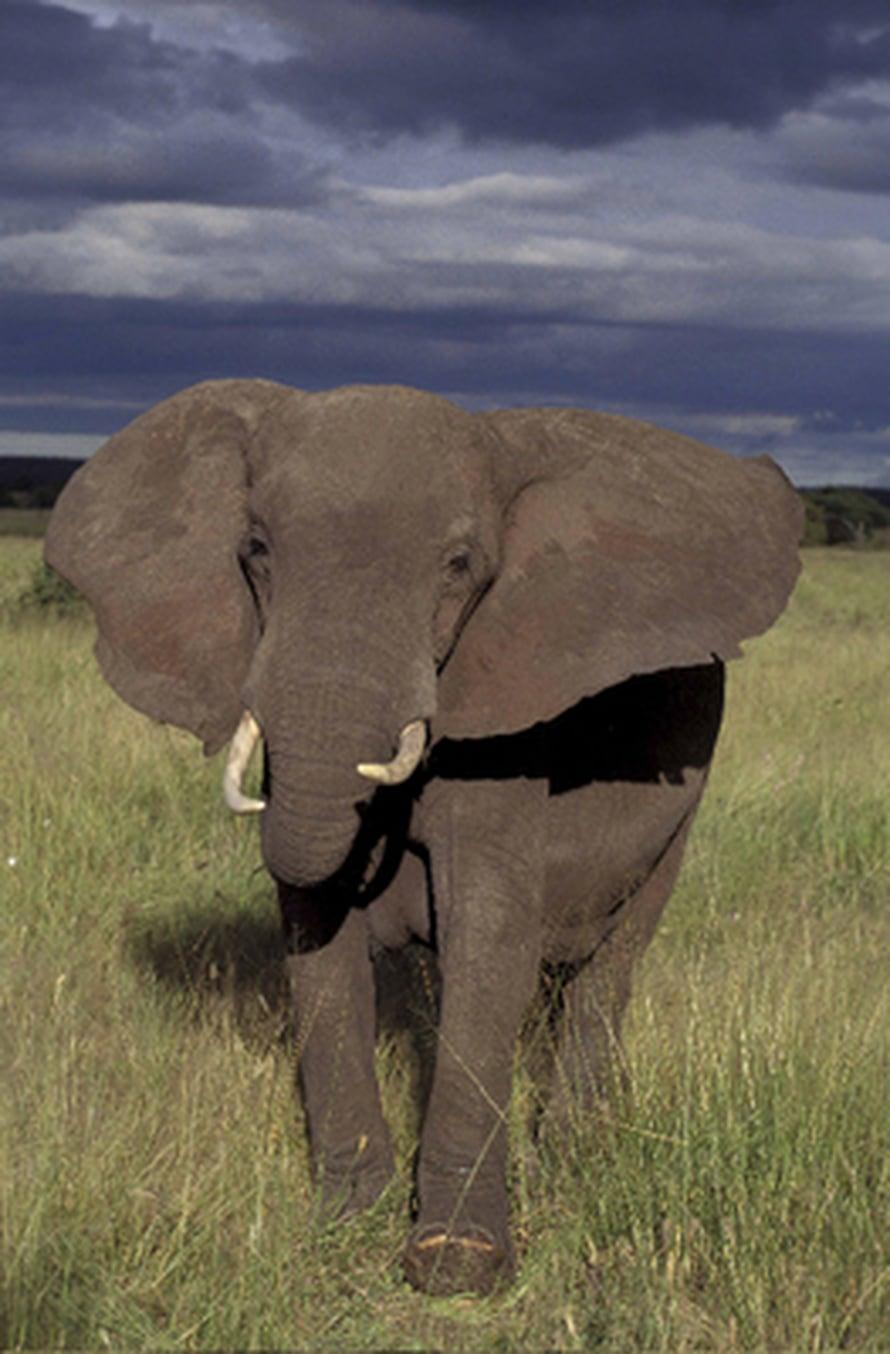 """Kuivien kausien povataan lisääntyvän Afrikassa ilmastonmuutoksen myötä. Norsulaumojen valttikortti muuttuvissa oloissa ovat vanhat matriarkat. Kuva: <span class=""""photographer"""">Charles Foley</span>"""