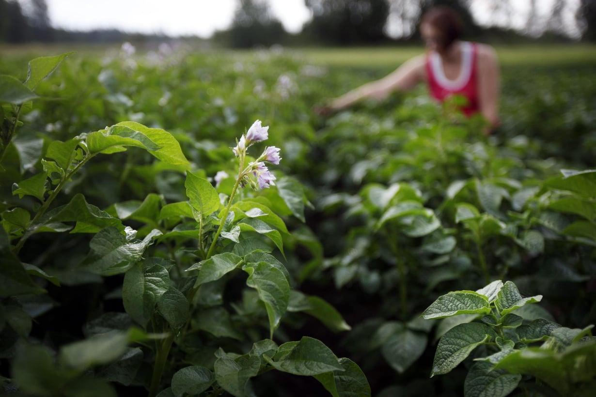 Tällä pellolla kasvatettiin muuntogeenistä perunaa rehuksi. Kuva: Marjaana Malkamäki