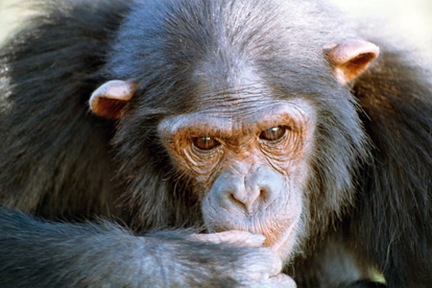 "Simpanssi. Kuva: <span class=""photographer"">Max Planck Institute for Evolutionary Anthropology/Esther Herrmann</span>"