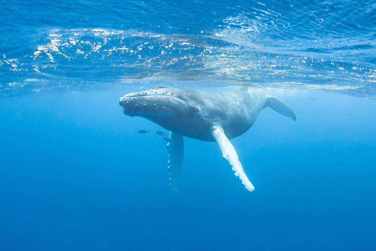 Nuori ryhmävalas ui Karibianmerellä. Kuva: Shutterstock