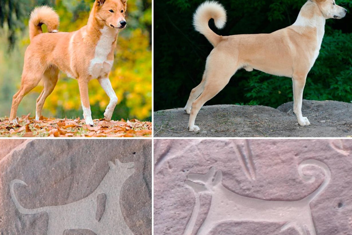 Kalliopiirrosten koirat muistuttavat nykyistä kaanaankoiraa. Se on yksi maailman vanhimmista koiraroduista. Kuvat Alexandra Baranova/CC ja Maria Guagnin et al.