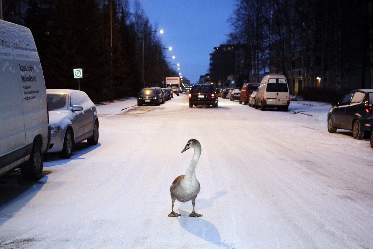 Joutsen tepasteli Helsingin Lauttasaaressa vuonna 2009. Kuva Sami Kero / HS