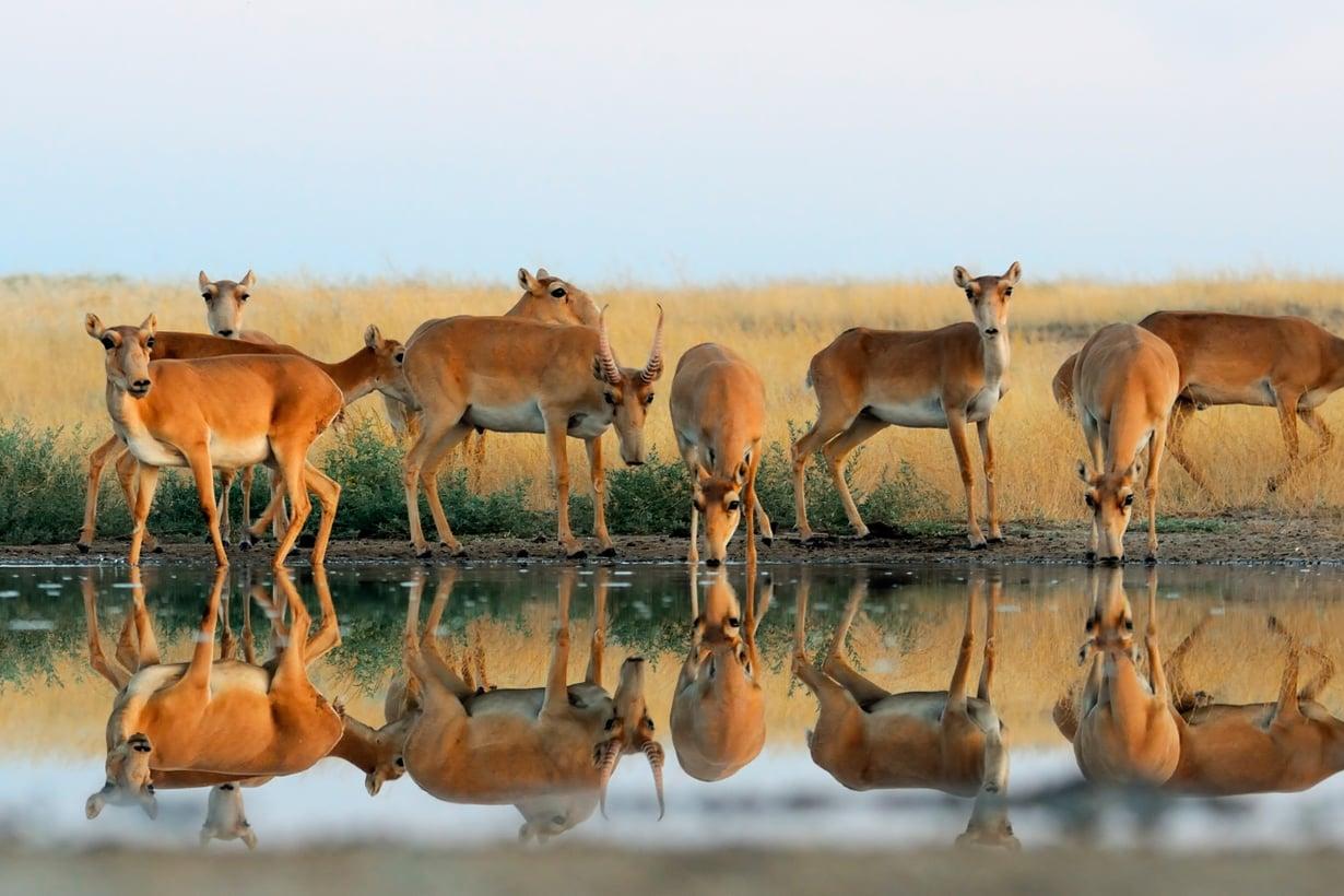 Euraasian uhanalaisen saiga-antiloopin joukkotuho hätkähdytti 2015. Kuva: Shutterstock